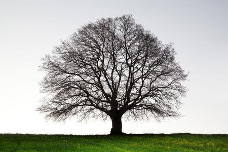 Foto van oude reusachtige eikenboom. Stockfoto