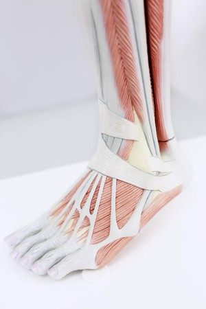 anatomical model: Anatomical model of human foot Stock Photo