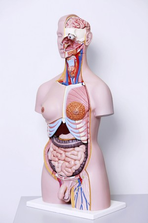 anatomical model: Anatomical model of human body