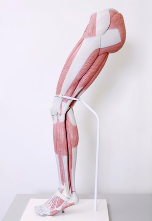 Anatomical model of human leg