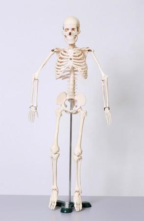 esqueleto humano: Esqueleto humano Foto de archivo