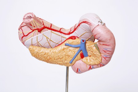 Anatomical model Stock Photo - 4210832