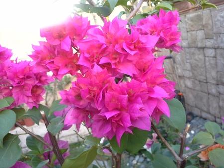violette fleur: Floraison fleur pourpre dans le jardin Banque d'images
