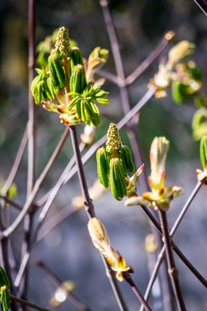 Blooming chestnut, green leaves, tree branch with green leaves