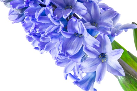 hyacinth purple flowers isolated on white background