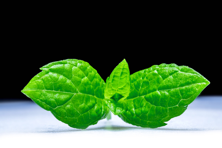 Mint leaves macro close-up on black and white background Reklamní fotografie