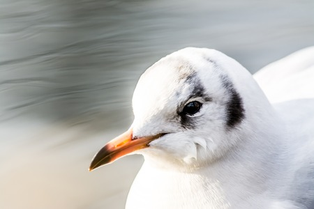 Sea gull close-up drifting swimming on the water in lake with beautiful bokeh background