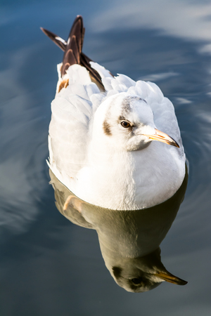 Sea gull closeup drifting swimming on water in lake with reflection on blue sky background Imagens