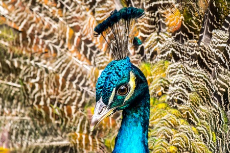 Peacock close-up on the background of fluffy multi-colored tail feathers