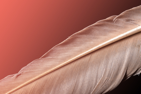 A feather with a drop of water macro close up in the natural color of the living coral - the color of the year 2019 Stock Photo