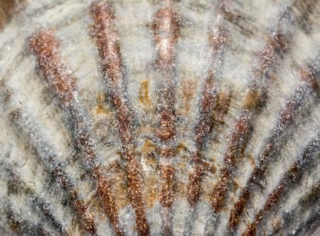 Background of seashell close-up macro. Mollusk seashell texture.