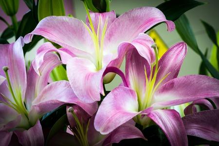 Bud of blooming lilies flower close-up macro