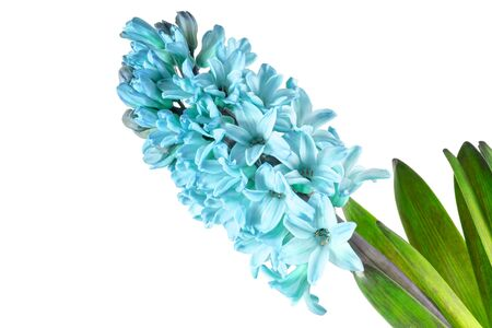 Hyacinth flowers with green leaves macro in the 2020 color trend in blue azure tones isolated on a white background.