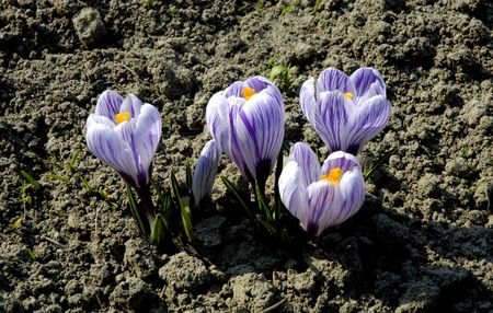 season specific: First spring flowers, crocuses blooming, springtime, easter, season specific