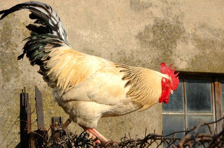 Rooster on the fence, agricultural issues, metaphors photo