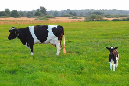 piebald: Vaca familia en la pradera, los animales de granja, el concepto