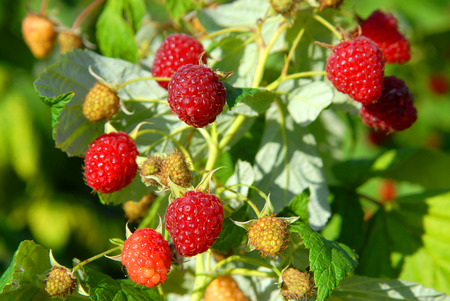A bush with sweet raspberry fruits, concept