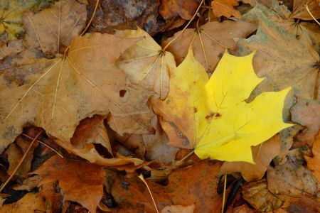 Yellow leaf among dry brown leaves photo