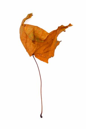 hankering: A dry leaf on the white background