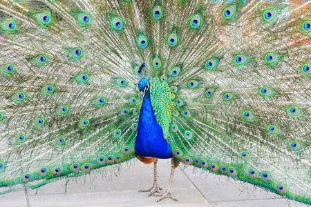 attentions: Peacock