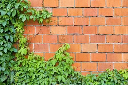 ivies: Muro di mattoni e di edera Archivio Fotografico