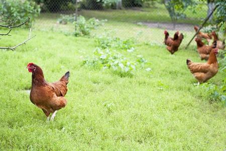 gallina con huevos: Gallinas