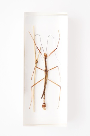 taxonomy: Stick insect