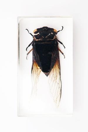 taxonomy: Black cicada