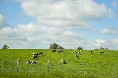 vacas lecheras: Paisaje de idilio