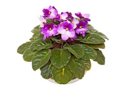 windowsill: Fresh violets Stock Photo