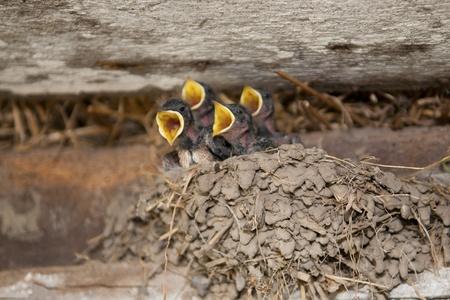 Nestlings photo