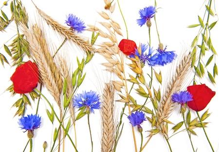 fiordaliso: Fiori e cereali