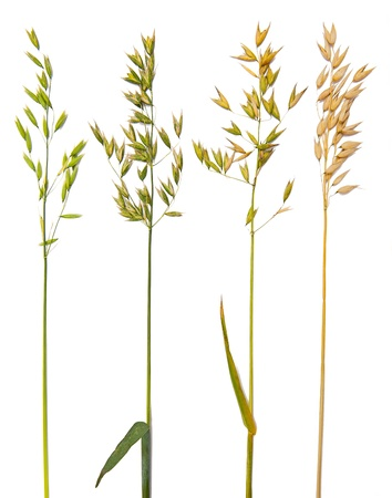 Oat collection