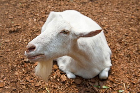 White goat Stock Photo - 14740141