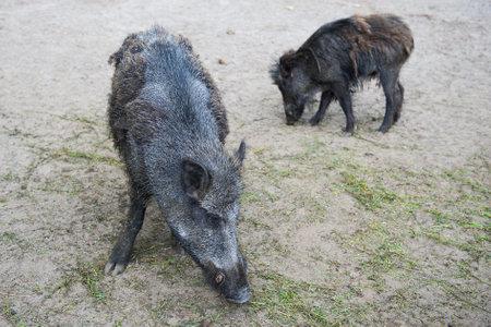 truffle: Boars