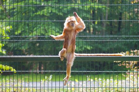 ebony tree: Monkey