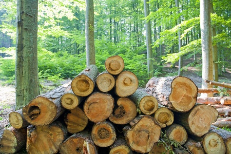 lumbering: Wood in forest