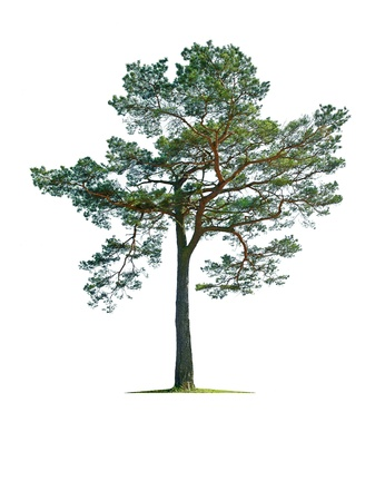 arbol de pino: �rbol