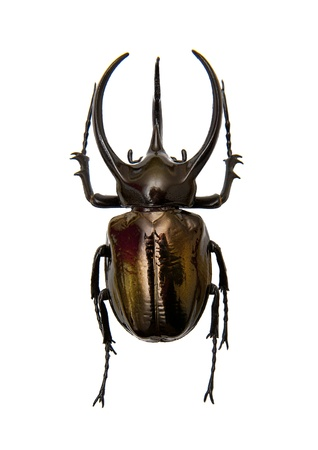 woodland  horror: Beetle Chalcosoma Atlas