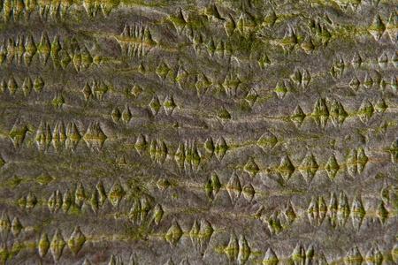 salix alba: Wooden pattern