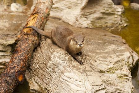 sea otter: Otter