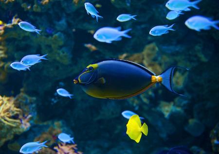yellow tang: Naso Tang fish