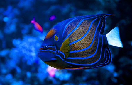 Blue Ring Angelfish photo