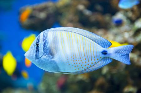 yellow tang: Sailfin Tang fish Stock Photo