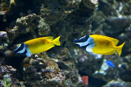 rabbitfish: Foxface Rabbitfish Stock Photo