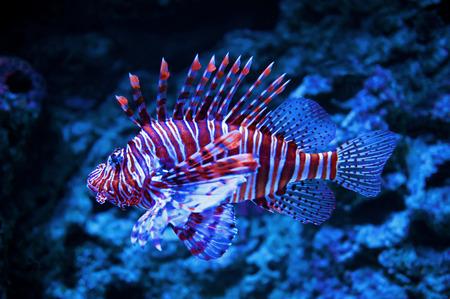 pterois: Lionfish