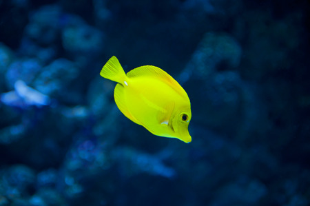 algal: Close up of the yellow tang fish Stock Photo