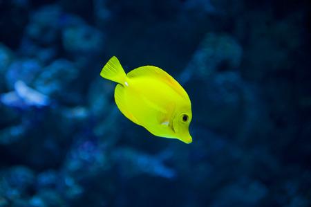 yellow tang: Close up of the yellow tang fish Stock Photo