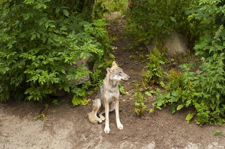 wolf in garden photo