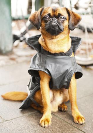 griffon bruxellois: Cute dog